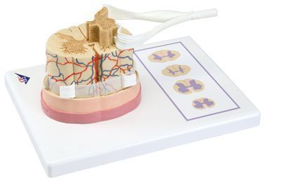 Moelle épinière avec extrémités des nerfs C41 3B Scientific