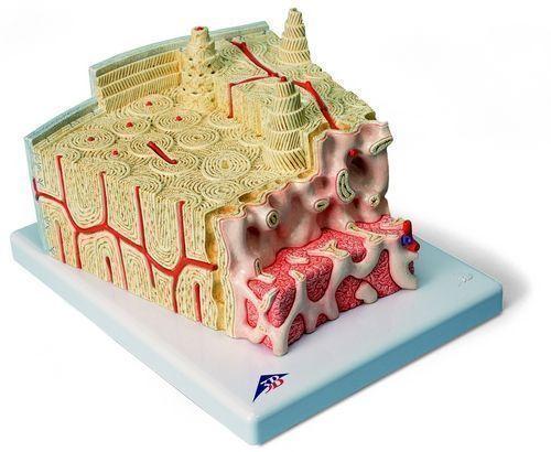 3B MICROanatomy Structure osseuse - agrandi 80 fois A79