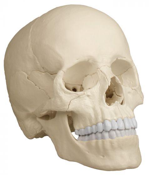 Crâne articulé Version Anatomique 22 pièces R4701 Erler Zimmer