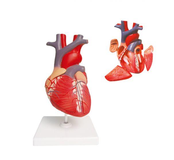 Modèle anatomique du coeur agrandi 2 fois en 4 parties