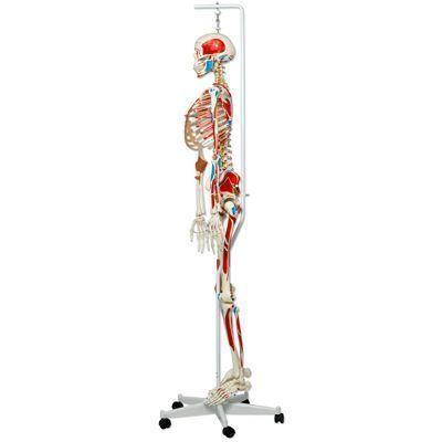 Squelette de luxe Sam, sur support suspendu A13/1