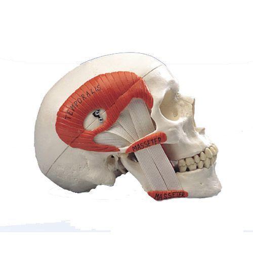 Crâne avec musculature de mastication, en 2 parties A24