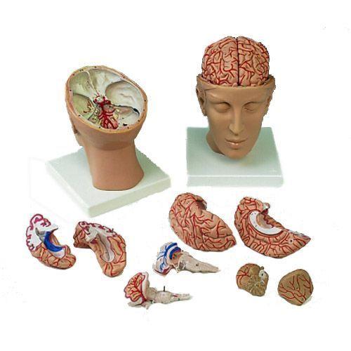 Cerveau avec artères, monté sur base de la tête, 8 parties C25