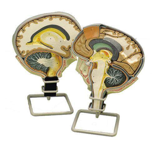Section du cerveau W19026
