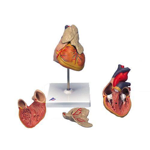 Cœur classique avec thymus, en 3 parties G08/1