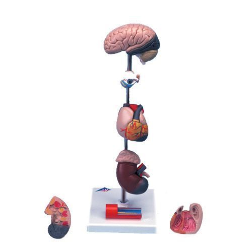 Modèle d'hypertension, en 7 parties G35