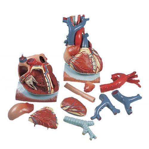 Cœur sur diaphragme, agrandi 3 fois, en 10 parties VD251