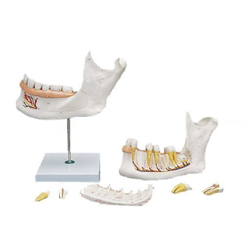 Hémi-mandibule, agrandie 3 fois, en 6 parties D25