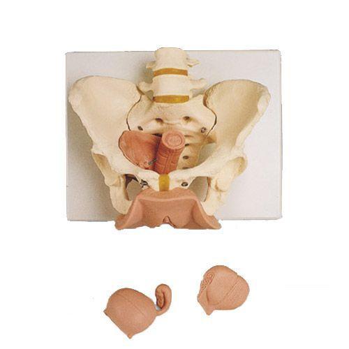 Squelette du bassin féminin avec organes génitaux, en 3 parties L31