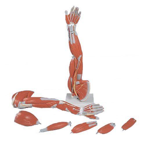 Muscles du bras, en 6 parties M10
