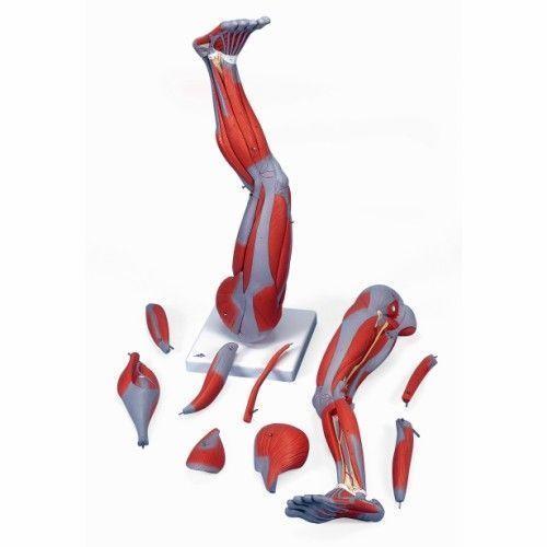 Muscles de la jambe, en 9 parties M20