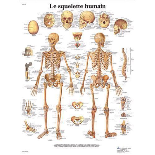 Planche anatomique Le squelette humain VR2113L