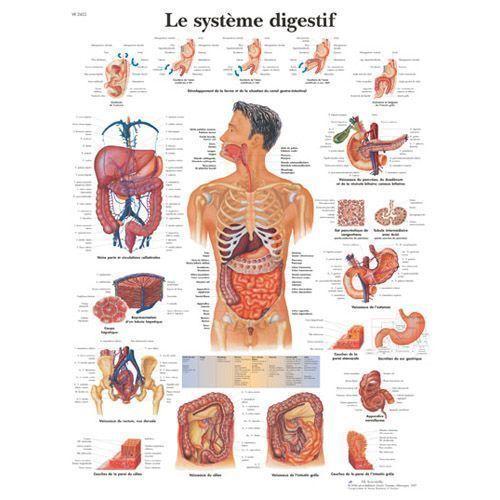 Planche anatomique Le système digestif VR2422L
