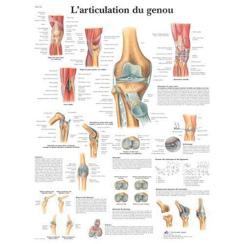Planche anatomique L'articulation du genou VR2174L