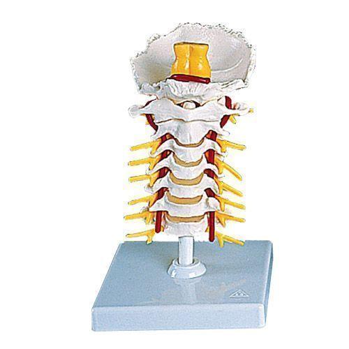 Colonne vertébrale cervicale A72
