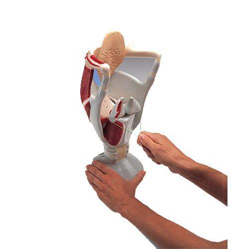 Larynx fonctionnel, agrandi 4 fois W42503
