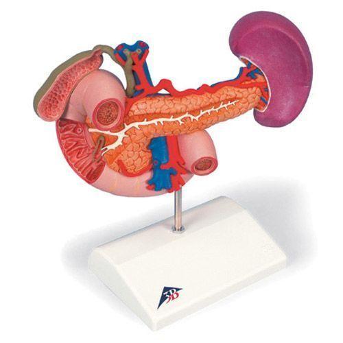Organes postérieurs de l'épigastre K22/2