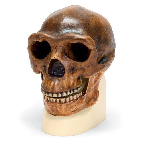 Homo erectus pekinensis - Sinanthrope VP750/1