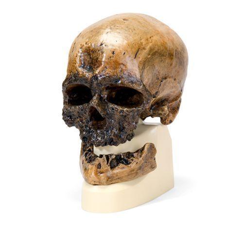 Homo sapiens sapiens - Cro-Magnon VP752/1