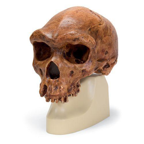 Homo sapiens rhodesiensis - Broken Hill ou Kabwe VP754/1