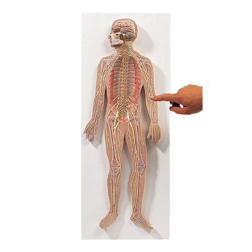 Système nerveux, echelle 1/2 C30