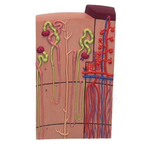 Néphron avec vaisseaux sanguins, agrandi 120 fois K10/1