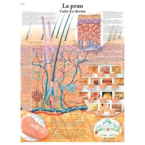 Planche anatomique de la peau VR2283L