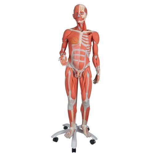 Modèle musculaire bisexué haut de gamme, en 45 parties B50