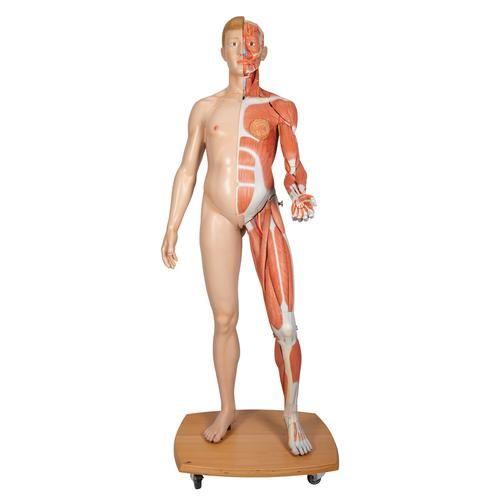 Modèle musculaire du corps humain bisexué, européen B53
