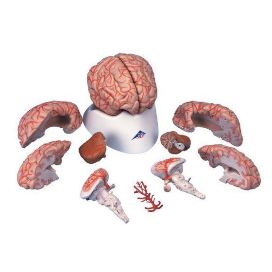 Cerveau avec artères, en 9 parties C20