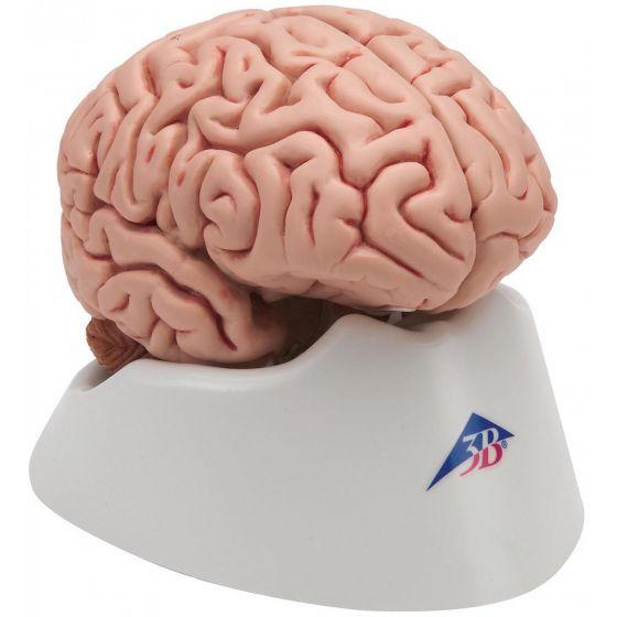 Cerveau classique en 5 parties C18 3B Scientific