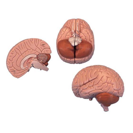 Cerveau en 2 parties C15