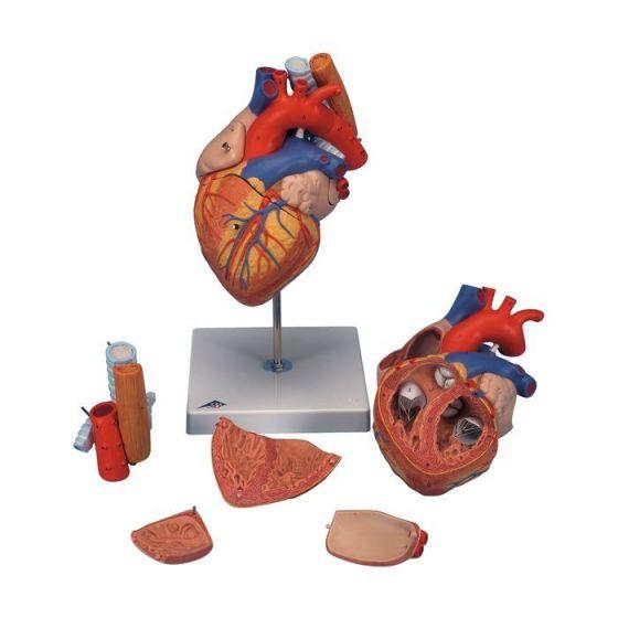 Cœur avec trachée et oesophage, agrandi 2 fois, en 5 parties G13
