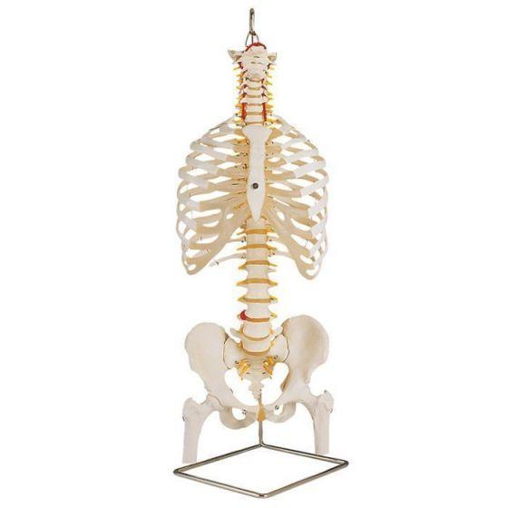Colonne vertébrale classique flexible avec thorax et moignons du fémur