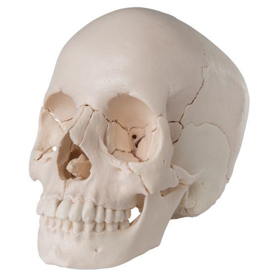 Crâne articulé - version anatomique, 22 pièces A290