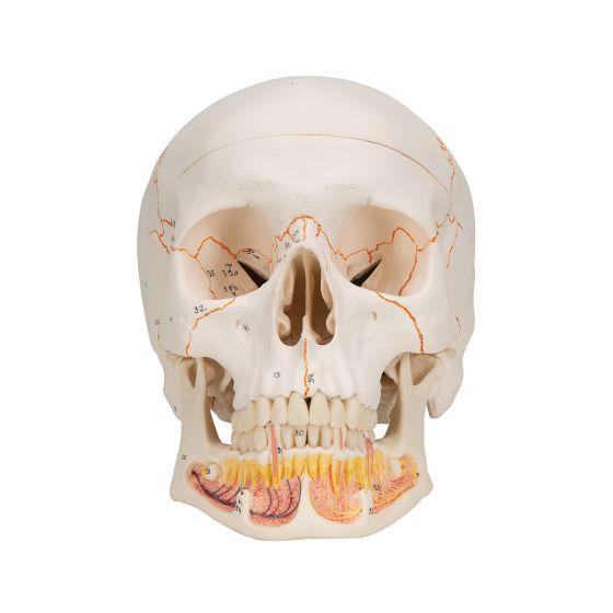 Crâne classique avec mandibule ouverte, en 3 parties A22