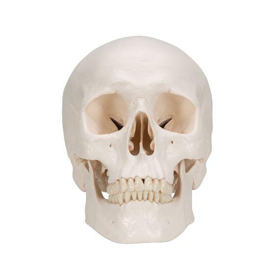 Crâne classique en trois parties A20