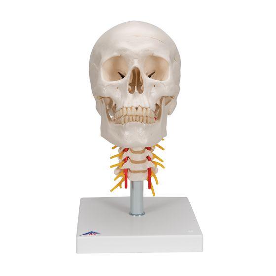 Crâne sur colonne vertébrale cervicale, en 4 parties A20/1