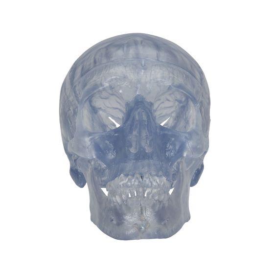Crâne transparent, en 3 parties A20/T