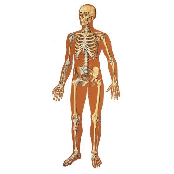 Planche anatomique Le squelette humain, avec ligaments V2001U