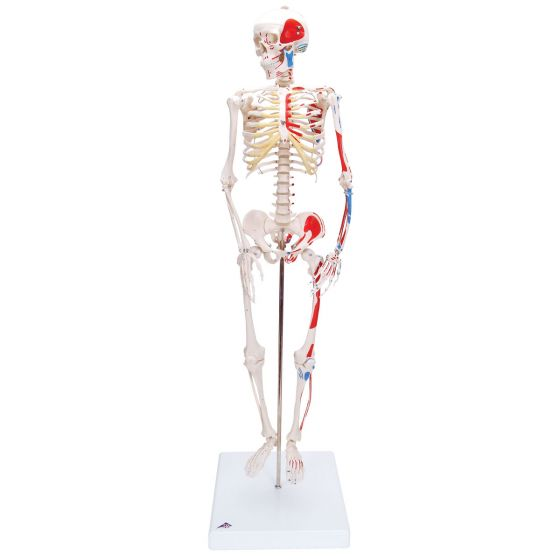 Mini-squelette Shorty avec muscles peints, sur socle A18/5