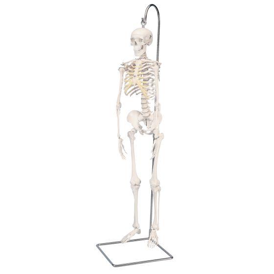 Mini-squelette suspendu A18/1