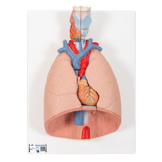 Poumon avec larynx en 7 parties G15 3B Scientific