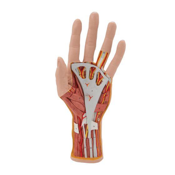 Modèle de la structure de la main, en 3 parties M18