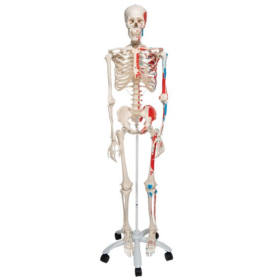 Squelette classique Max, sur support 5 roulettes A11