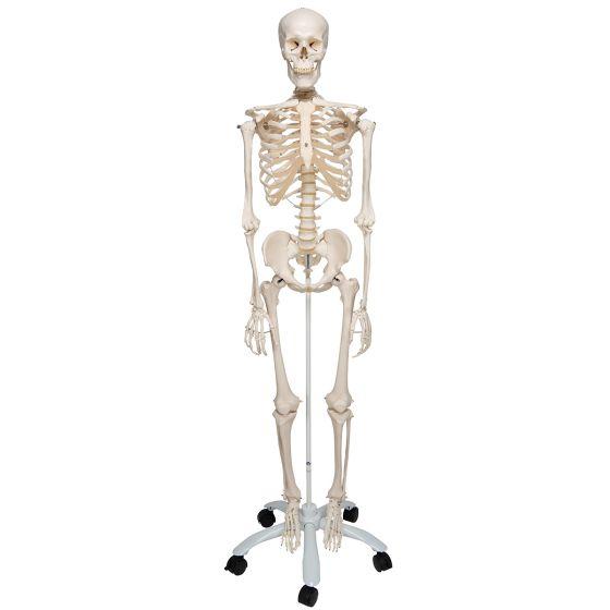 Squelette classique Stan, sur support à 4 roulettes A10