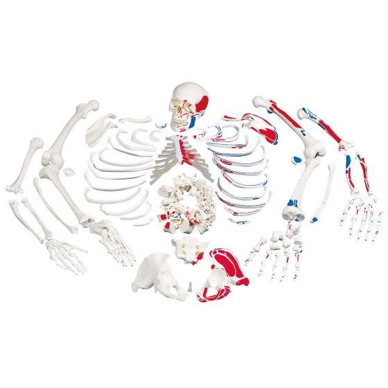 Squelette démonté avec représentation des muscles A05/2