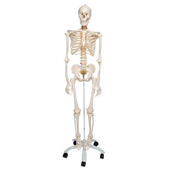 Squelette flexible Fred, sur support à 5 roulettes A15