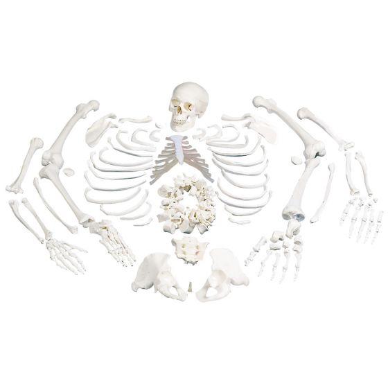 Squelette humain démonté A05/1
