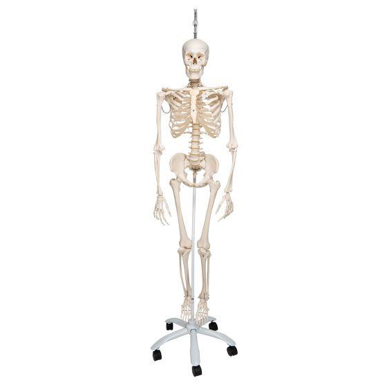 Squelette physiologique, suspendu A15/3
